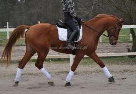 Polski Koń Szlachetny Półkrwi Sprzedaż Koni Konie Ujeżdżeniowe
